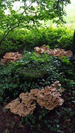 Im Horütiwald wimmelt es vor Riesenporlingen. (Bild: Anton Kaufmann)