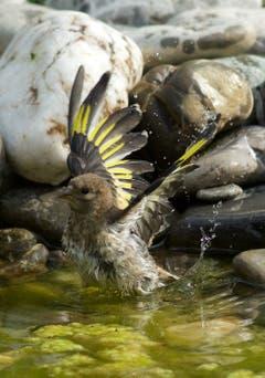 Distelfink beim erfrischenden Bad in Trogen. (Bild: Hans Aeschlimann)