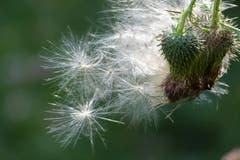 Distel-Samen, bereit zum Abflug. (Bild: Wolfgang Ponader)