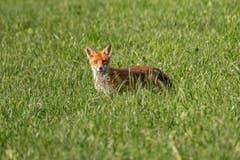Der Fuchs mit skeptischem Blick in Herisau. (Bild: Luciano Pau)