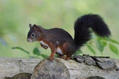 Das neugierige Eichhörnchen im Toggeburg. (Bild: Roland Miller)