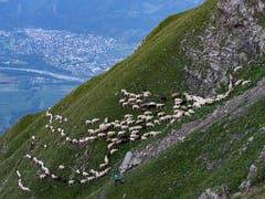 Die Schafherde auf dem Weg zu den Weiden im Fläschertal. (Bild: KEYSTONE/AP Keystone/GIAN EHRENZELLER)