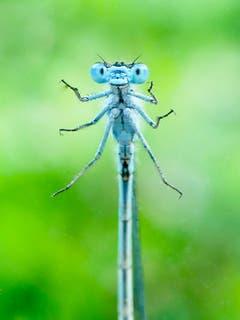 Schau mir in die Augen! Libelle an einer Scheibe. (Bild: Dani Rüede)