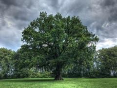 Die älteste Eiche im Rheindelta. (Bild: Toni Sieber)