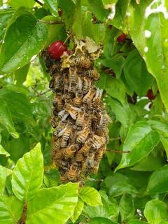 Ein kleines Bienenvolk in einer Hecke im Schaugarten der Bioforce in Roggwil. (Bild: Urs Baumeler)