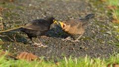 Die junge Amsel in Trogen wird mit Schnecken gefüttert (Bild: Hans Aeschlimann)