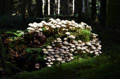 Eine Grossfamilie von Pilzen. (Bild: Ledi Herzog, Willisau, 10. September 2019)