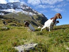 Ein bisschen absitzen und die Natur geniessen tut doch allen gut! (Bild: Gustav Tresch, beim Bristensee, 12. September 2019)