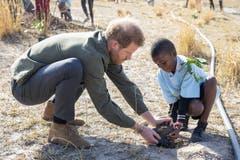 Prinz Harry pflanzt einen Baum in Botswana. Auch der Royal will wegen des Klimawandels darauf verzichten, viele Kinder in die Welt zu setzen, wie er und Herzogin Meghan Markle in Interviews immer wieder betonten. (Bild: AP)