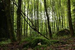 Licht erfüllt den dunklen Wald. (Bild: Irene Wanner, Altishofen, 2. September 2019)