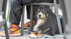 Tiere wie Hunde fürchten sich vor lautem Knall und suchen sogleich Schutz. Viele werden panisch vor Angst. Bild: Ralph Ribi