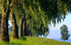 Schon bald werden sich die Birken mit goldenen Herbstfarben schmücken. (Bild: André Egli, 4. September 2019)