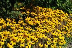 Sommerblumen in einem Garten – Goldsturm genannt. (Bild: Georgette Baumgartner-Krieg, Bodenhof Luzern, 4. September 2019)
