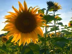 Die letzten Sonnenblumen. (Bild: Peter Bumbacher, Unterägeri, 7. September 0219)