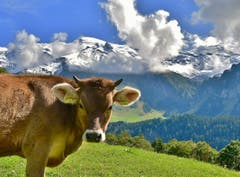 Während sich auf dem Titlis der Winter angemeldet hat, geniessen die Rinder in der tieferen Lage das grüne Gras. (Bild: Hans Burch, Engelberg, 9. September 2019)