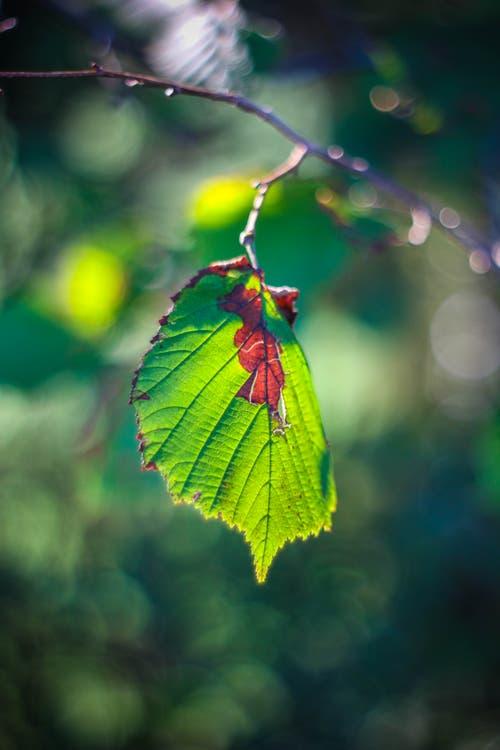 Herbstliche Stimmung, fotografiert mit einem Oreston 1.8/50mm. Dies ist ein altes, manuelles Objektiv aus den 60er-Jahren aus der DDR. Dadurch entsteht der sogenannte Bokeh-Effekt im Hintergrund. (Bild: Petra Jung (Hämikon, 30. September 2018)