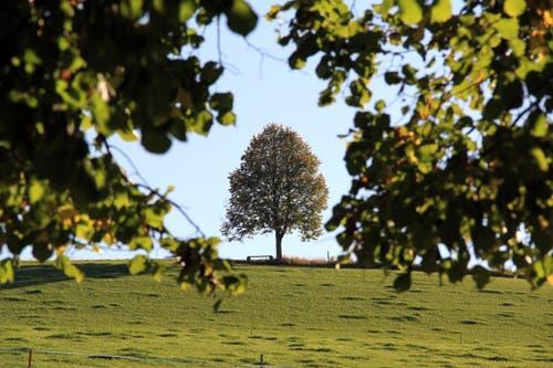 Öises chline Lindeli omrahmt vo Blätter vo de grosse Linde vorem Huus. (bild: Adrian Mattli)