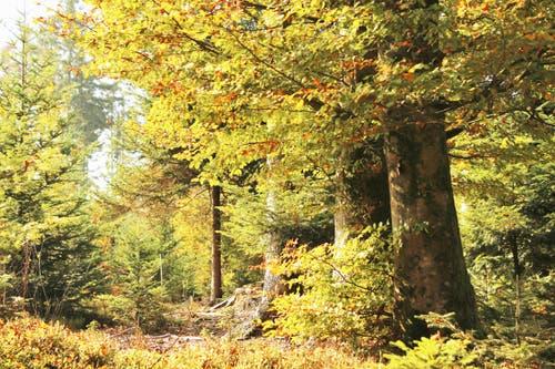 Goldiger Herbstwald. (Bild: Irene Wanner (Schötz, 18. Oktober 2018))