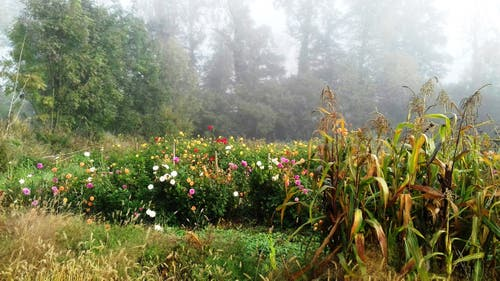 Blumenfeld im Nebel. (Anna-Rita Jörger (Cham, 13. Oktober 2018))