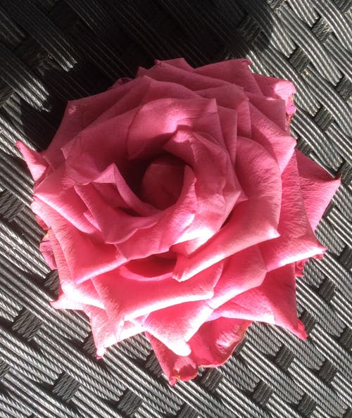 Diese Rose wurde mir in der Luzerner Gärtnerei geschenkt, da sie abgefallen war. (Bild: Katharina von Burg (Sonnmatt, 2. September 2018))