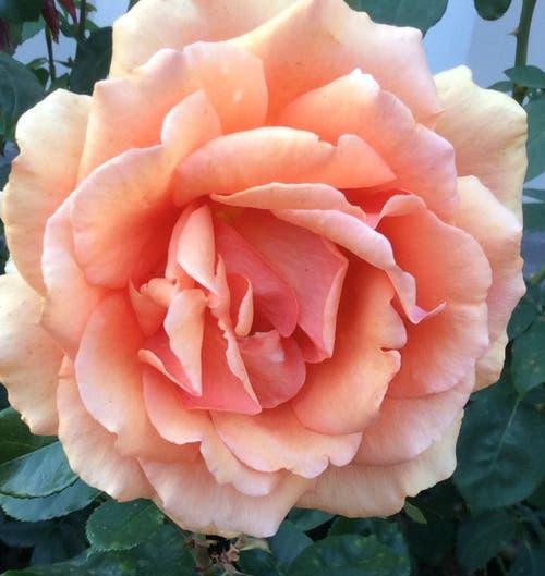 Ein Dank an die herrlichen Rosen der Sonnmatt. (Bild: Katharina von Burg (Sonnmatt, 1. September 2018))