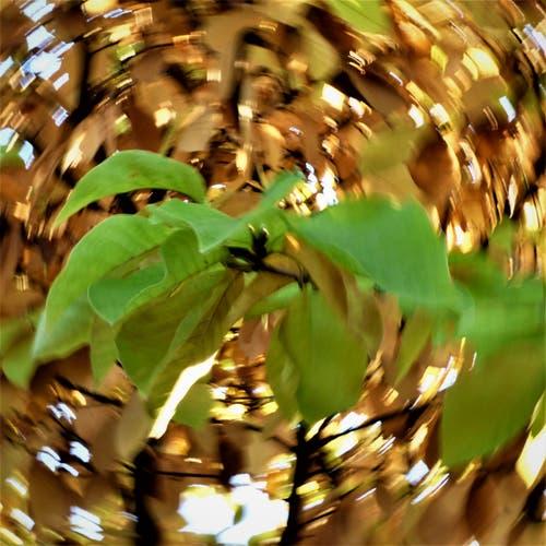 Tanz der Blätter. (Bild: Ingrid Portmann, 20. Oktober 2018))