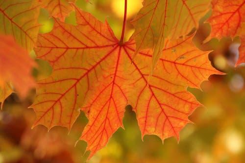 Die Blätter verfärben sich in den warmen Herbstfarben. Schön, unter einem Baum zu stehen und den Herbst zu geniessen. (Bild: Edith Tanner (St. Erhard, 19. Oktober 2018))