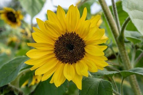 Diese wunderschöne Sonnenblume habe ich beim Alpenhof in Küssnacht gesehen. (Bild: Jörg Föhn (Küssnacht, 9. Oktober 2018))