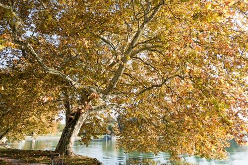 Der sonnige Herbst ist bereits Geschichte. Herbstfarben im Villettepark Cham. (Bild: Erich Würgler, 25. Oktober 2018)