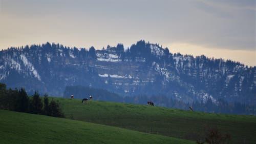 Die letzten Weidgänge im Napfgebiet, Luzerner Hinterland. (Bild: Alfred Herzog, 31. Oktober 2018)
