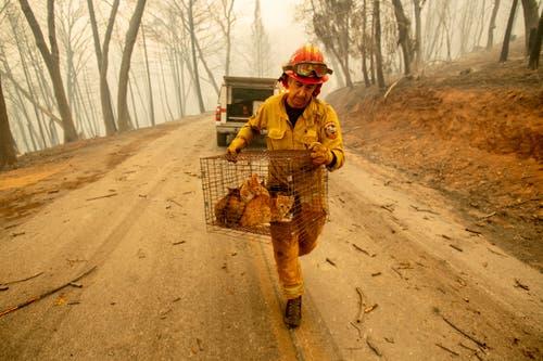 Feuerwehrmann Steve Millosovich bringt Katzen vor dem Feuer in Big Bend in Sicherheit. Der Käfig war offenbar von einem Pick-Up gefallen. (Noah Berger/AP (Big Bend, 9. November 2018))
