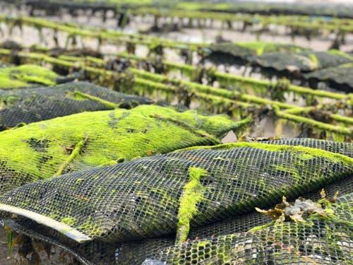 Die Ebbe legt die Austernfarmen frei. Zieht sich das Meer zurück, wird die Insel um einen Drittel grösser.