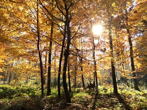 Goldener Herbst. (Bild: Amphai Sommer (Sempach, 12. November 2018))