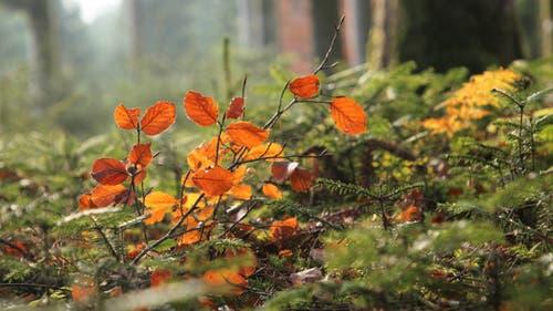 Herbstlaub im Licht des Waldes. (Bild: Irene Wanner (Schötz, 17. November 2018))