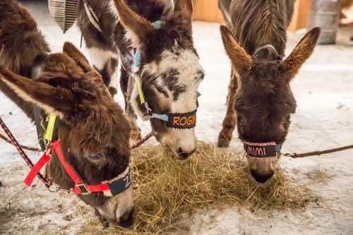 Zitta, Rogina und Mimi (von links) waren im vergangenen Jahr Besucher des Stanser Weihnachtsmarktes. (Bild: André A. Niederberger, Stans, 9. Dezember 2017)