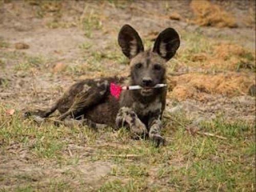 Sieger in der Kategorie «Ökologie in Aktion»: Junger Wildhund mit Betäubungsspritze von Dominik Behr, Universität Zürich. (Bild: British Ecological Society)