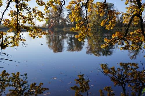 Goldener Herbst am Steinibühlweiher. (Bild: Martin Küttel (Sempach, 5. November 2018))