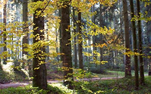 Lichtdurchfluteter Herbstwald. (Bild: Priska Ziswiler-Heller (Zuswilerwald, 9. November 2018))
