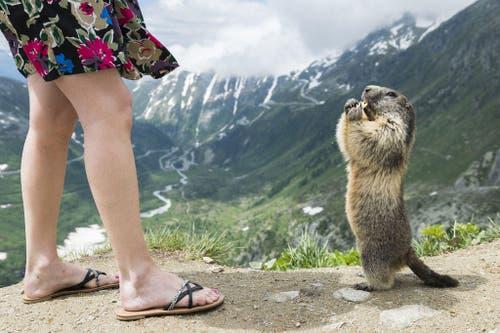 Eine Touristin speist auf dem Furkapass ein Murmeltier. (Bild: Keystone / Dominic Steinmann)