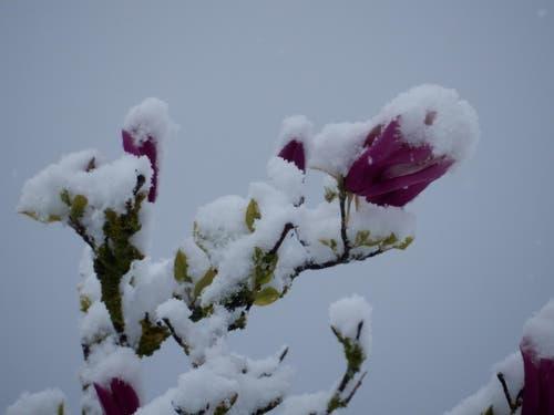 """Diese Magnolien werden mit einer eher ungewöhnlichen """"kosmetischen Verschönerung"""" konfrontiert. Gesehen an der Obermattstrasse in Meggen. (Bild: Leserin Margrith Imhof-Röthlin)"""