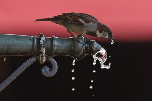 Ein Spatz trinkt Wasser aus einem Brunnen in Freiburg / Deutschland. (Bild: EPA / Patrick Seeger)