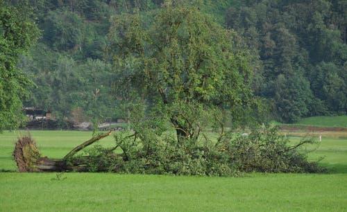 Das Gewitter mit Sturmböen hat am 6. August in Stans ganze Bäume ausgerissen. (Bild: Oliver Mattmann / Neue NZ)