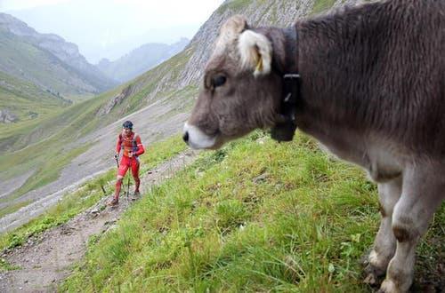 16. August: Ob der Wiederkäuer das bunte Treiben am Drachenberg versteht? Ein Läufer des Mountainman -- in seiner längsten Variante vom Titlis nach Hasliberg auf den Pilatus fürhend -- ist fast am Ziel angekommen.