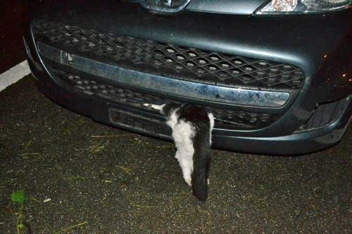 Es überlebte die kilometerlange Fahrt wie durch ein Wunder. Der Polizei gelang es, zusammen mit einer Tierärztin, den ungechipten Kater zu bergen. Letztere nahm ihn in ihre Obhut und pflegte ihn in ihrer Praxis.