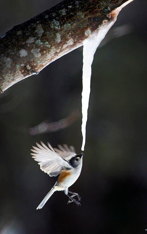 Eine Meise schnappt sich einen Schluck Wasser, das an einem Eiszapfen, der an einem Ahornbaum angewachsen ist, heruntertropft. (Bild: AP / Greg Derr)