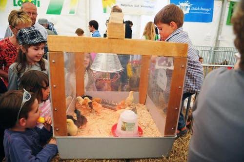 Kinder freuen sich über die kleinen Küken. (Bild: Corinne Glanzmann/Neue NZ)