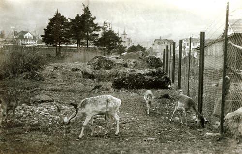 Für die Einzäunung, die Weganlagen, die geschützten Futterstände und die Spezialgehege wurden 1925 lediglich 40 000 Franken veranschlagt. Möglich war dies nur dank zahlreichen freiwilligen Mitarbeiten. (Bild: pd / Tierpark Goldau)