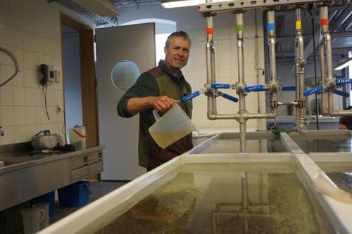Felix Ammann füttert die jungen Hechte mit Plankton. (Bild: Raphael Biermayr / Neue ZZ)