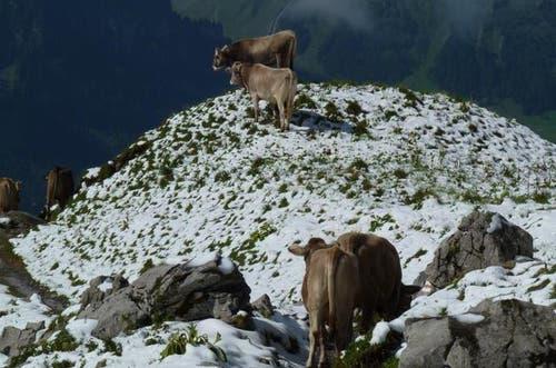 Ende August: Der Alpsommer geht früh zu Ende. «Zum Vergessen» sagen die Älpler. Die zahlreichen Regenfälle waren eine Herausforderung für die Weidehaltung. (Bild: Leserbild Nick Walter)