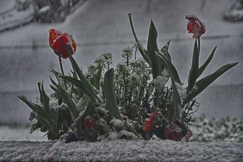 Verschneite Tulpen in Beckenried. (Bild: Leserin Regula Aeppli)